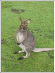 3. Wallaby by fire-works