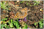 49. Meadow Argus by fire-works
