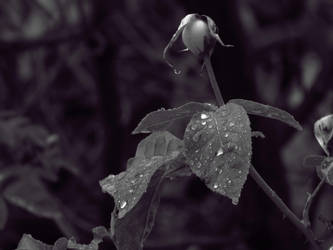 After Rain Rose Leaves by Alphanza1