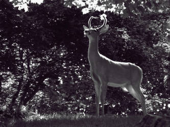Stag by Alphanza1