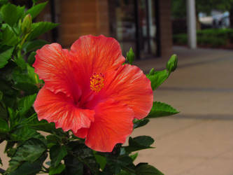 Hibiscus by Alphanza1