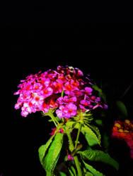 Night Flower by eiryn89