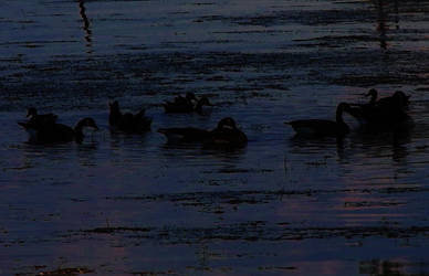 Geese at Sunset by eiryn89