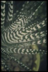 Haworthia fasciata by FranticMezmer