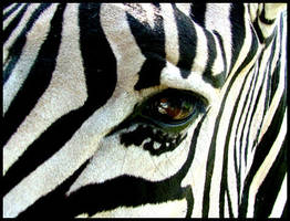 Zebra by GrosPlante