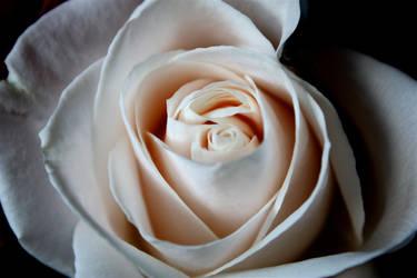 Rose 1 by ChelseaSavage