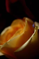 Rose 3 by ChelseaSavage