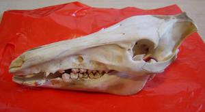 Wild Boar Skull by Psydrache