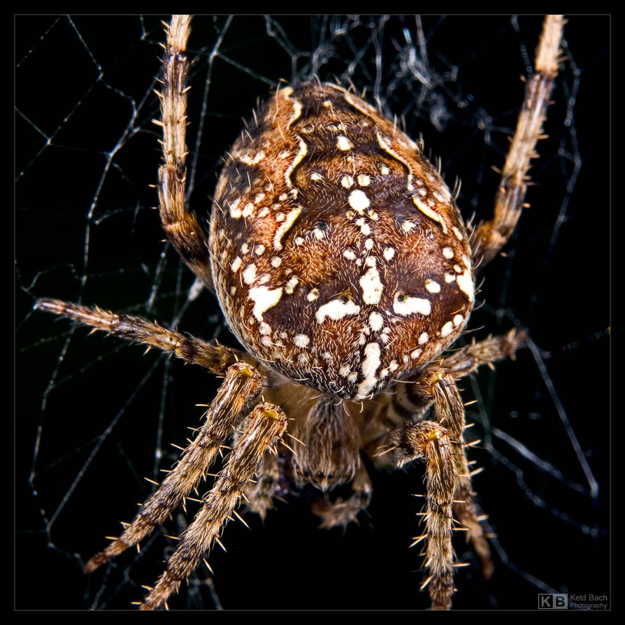 Garden Spider by KeldBach