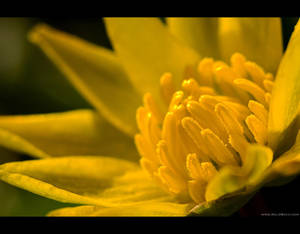 Lesser Celandine Up Close by KeldBach