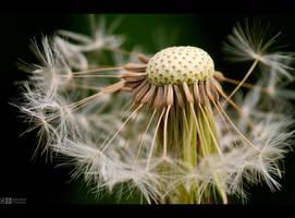 Dandelion Revisited by KeldBach