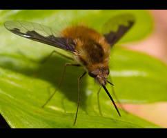 A Bee Fly by KeldBach