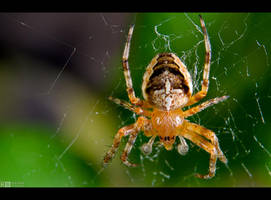 Young Garden Spider by KeldBach