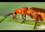 Red Soldier Beetle by KeldBach