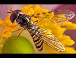 Hoverfly on Anemone by KeldBach