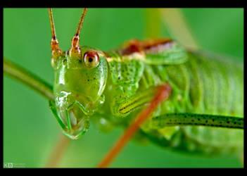 Specked Bush-Cricket by KeldBach