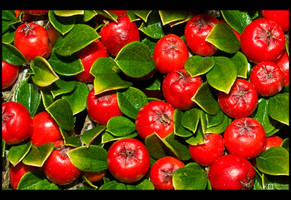 Red Berries by KeldBach