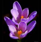 Violet Crocuses 2 by KeldBach