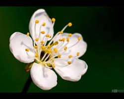 Cherry Bloom by KeldBach