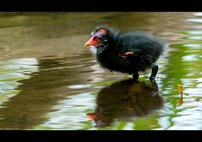 Moorhen Chicken 2 by KeldBach