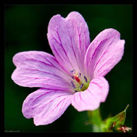 Pink Geranium by KeldBach