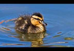 Mallard Duckling by KeldBach