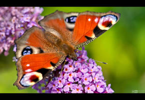 Peacock Butterfly by KeldBach