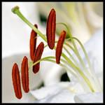 White Lily Stamens by KeldBach