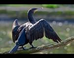 Cormorant by KeldBach