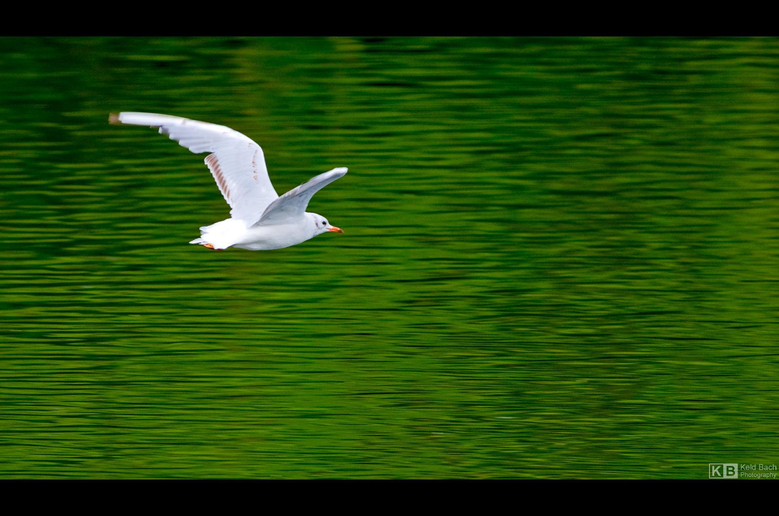 Solitary Gull by KeldBach