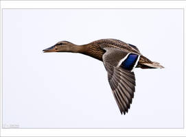Mallard in Flight by KeldBach