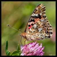 Painted Lady Feeding by KeldBach