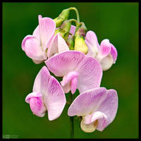 White Lathyrus by KeldBach