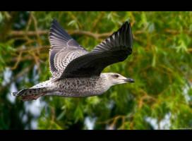 Caspian Gull by KeldBach