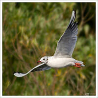 Black-Headed Gull in Flight by KeldBach