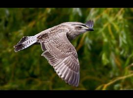 Juvenile Herring Gull by KeldBach