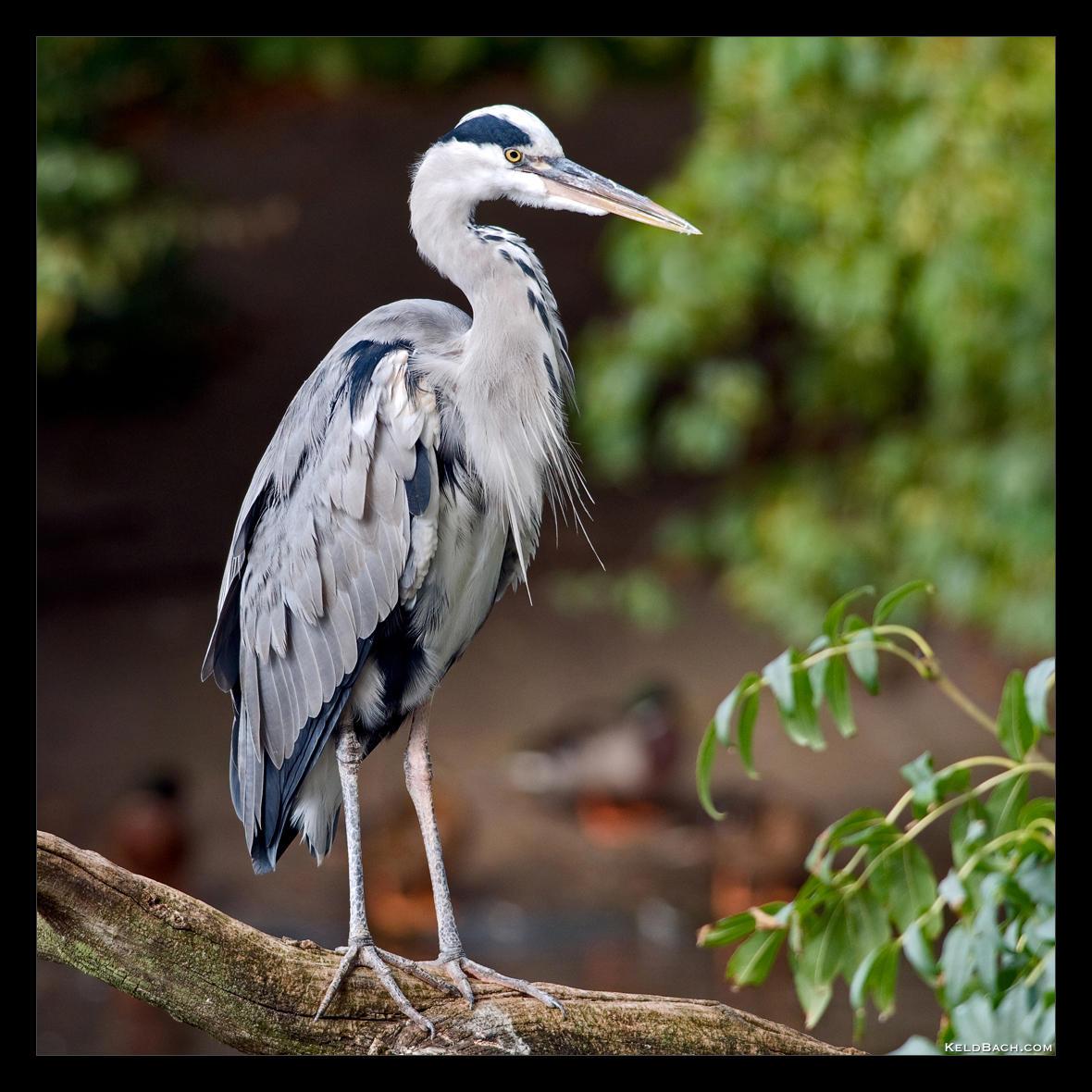 Grey Heron by KeldBach