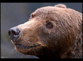 Brown Bear Portrait by KeldBach