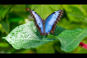 Blue Morpho by KeldBach