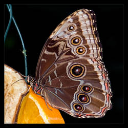 Morpho Butterfly by KeldBach