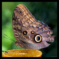 Owl Butterfly by KeldBach