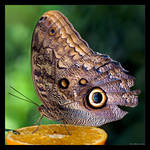 Owl Butterfly by KeldBach