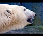 Polar Bear Profile by KeldBach