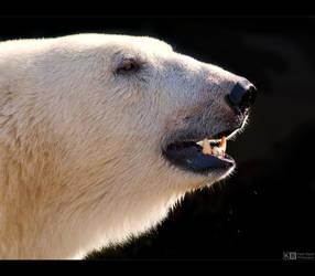Polar Bear Portrait by KeldBach