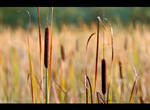 Bulrushes by KeldBach