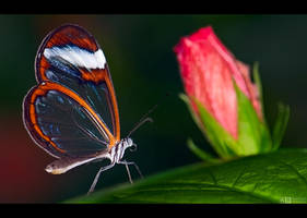 Glasswing on Hibiscus by KeldBach
