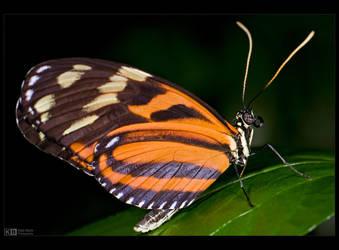 Tiger Longwing Butterfly by KeldBach