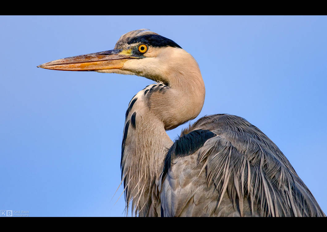 Heron Profile by KeldBach