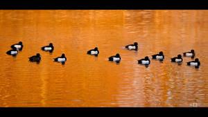 Tufted Ducks Winter Mood by KeldBach