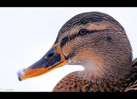 Winter Duck by KeldBach